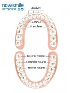 Nombres dientes